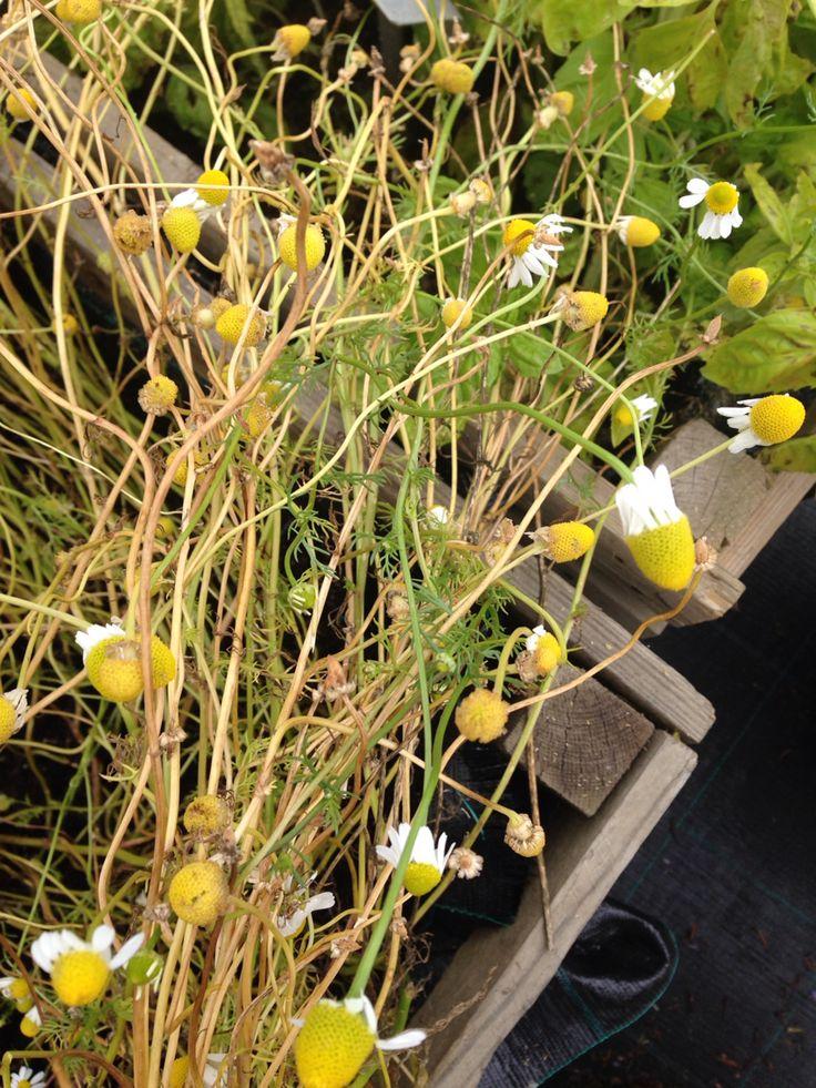 Matricaria chamomilla - kamomillasaunio
