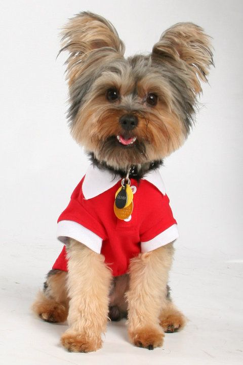 Pictures of Yorkshire Terrier Dog Breed#