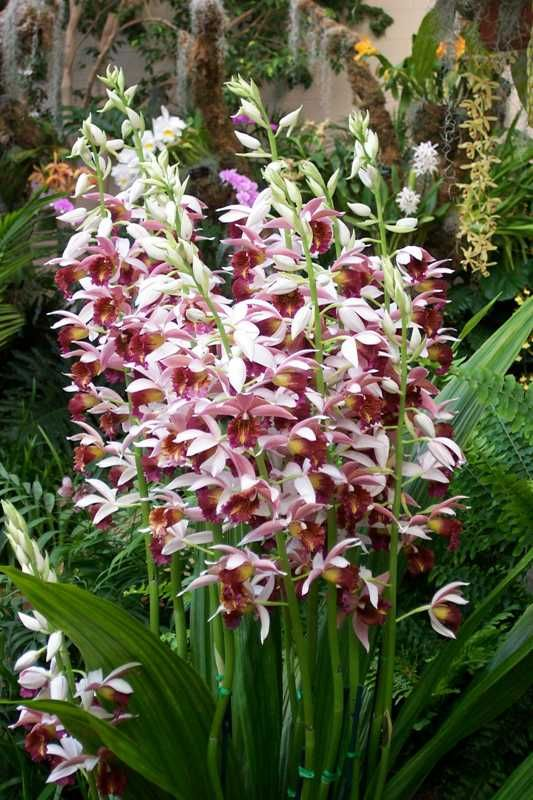 Top 10 Orchids for the Home: #8 Phaius - This large plant is called the nun's orchid and can grow to 48 inches tall when blooming. Its large, thin leaves are broad and pleated. Its many striking flowers are held on long flower spikes, each plant producing many spikes.
