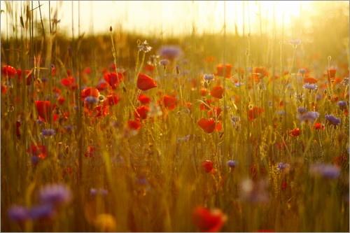 Mohnblumen sehen auf Wiesen und am Feldrand zwischen blauen Kornblumen und weißen Margeriten besonders schön aus. Da der Mohn nach ca. 2-3 Tagen seine Blütenblätter verliert, eignet er sich nicht für einen Blumenstrauß. Ein Fotoposter einer Mohnblume hält dagegen wesentlich länger.