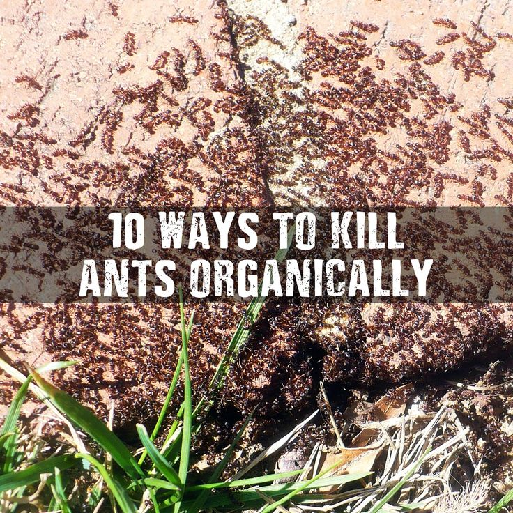 10 Ways To Kill Ants organically. If you want to kill ants the safe way, organically, this is your post! Don't buy store products again.