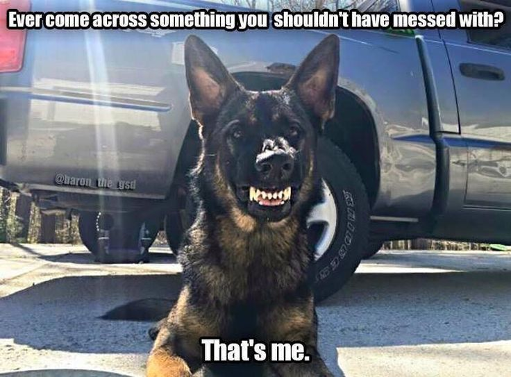 Saw this pin on Pinterest when I realized it was @baron_the_gsd