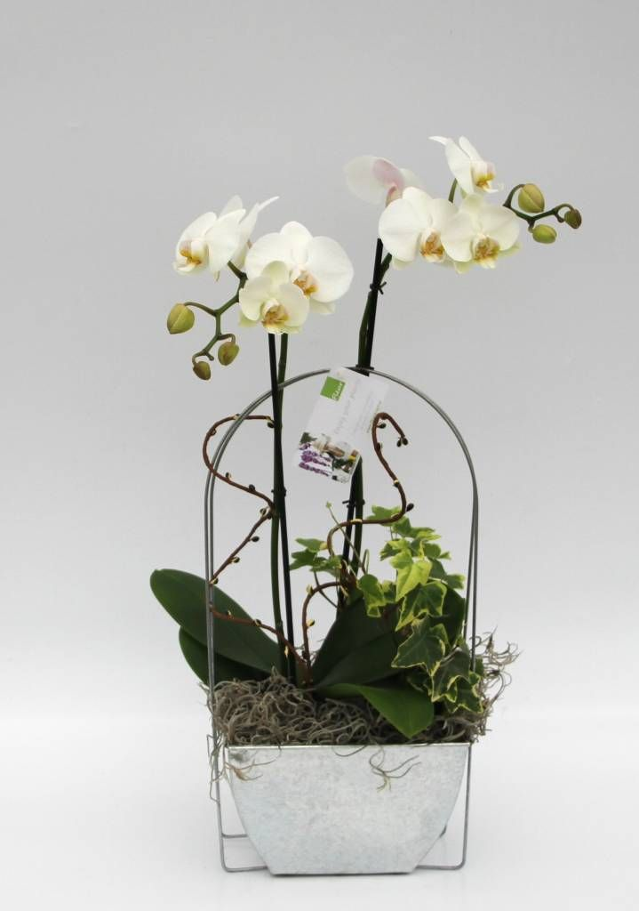 Orchidee wit in zinken ´Window´