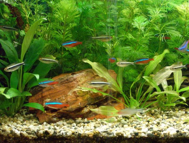 First attempt for an approximation of an Amazon Biotope with Corydoras albino, Neon Tetras and Black Neon Tetras in a 54lt aquarium.