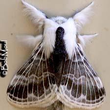 (Tolype velleda) Large Tolype Moth