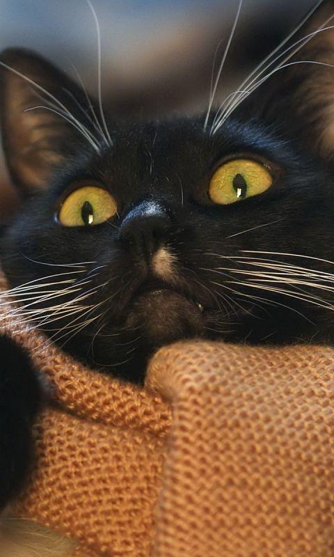 480x800 Wallpaper cat, face, scarf