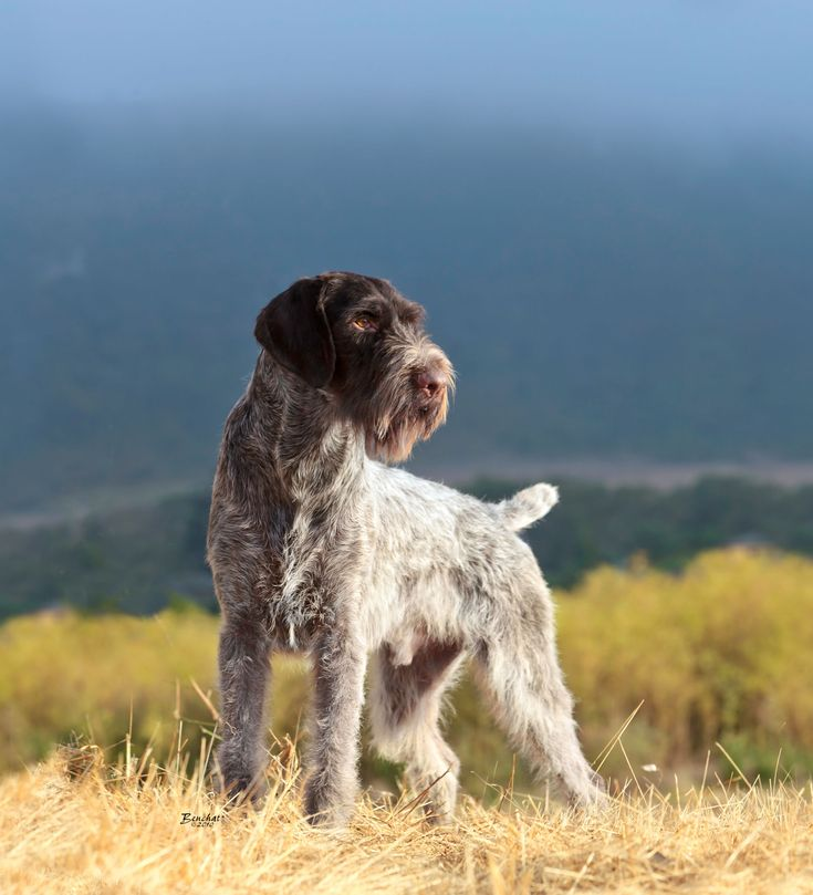 braco alemán de pelo duro o drahthaar / German wirehaired pointer  http://es.wikipedia.org/wiki/Braco_Alem%C3%A1n_de_Pelo_Duro  http://en.wikipedia.org/wiki/German_Wirehaired_Pointer