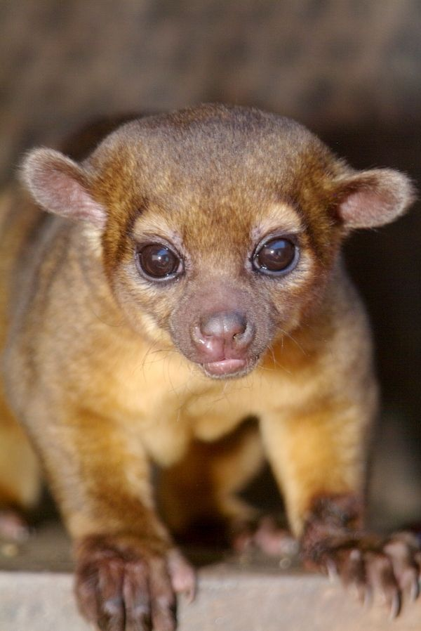 The kinkajou (Potos flavus), also known as the 'honey bear' (a name it shares with the sun bear), is a rainforest mammal NOT a monkey. Native to Central America and South America, this mostly a frugivorous, arboreal mammal.
