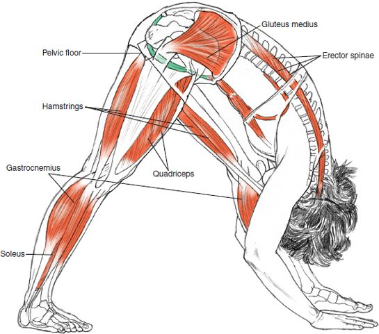 Parsvottanasana Leslie Kaminoff Yoga Anatomy Illustrated by Sharon Ellis.