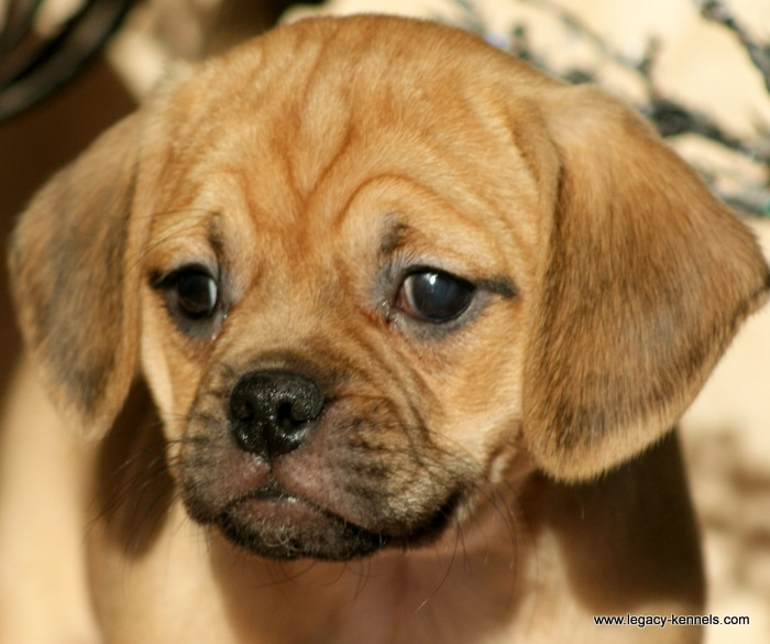 Puggle Puppy Puggle Puppies Puppies Cute Baby Animals