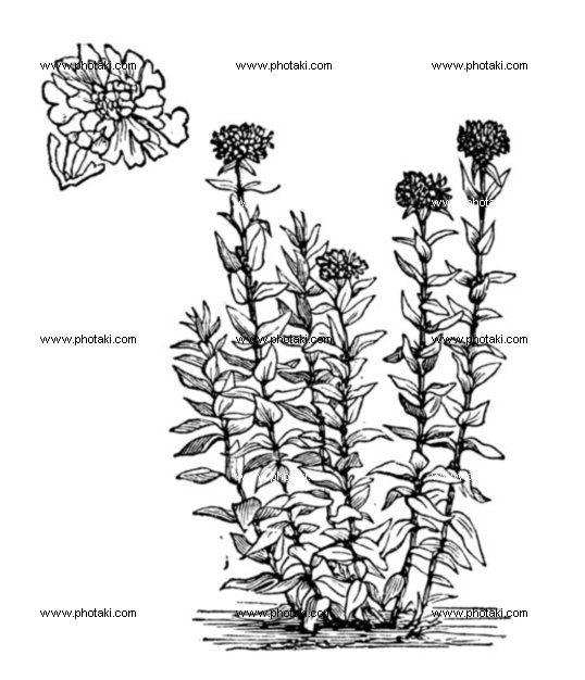 http://www.photaki.com/picture-jerusalem-cross-flower-or-lychnis-chalcedonica-vintage-engraving_1330136.htm