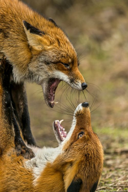 18 best u003du003e Fox Fight images on Pinterest Fox, Foxes and Red fox - best of coloring page of a red fox