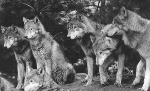 wolvesWild Animal, Wolves Art, Pictures Animal, Black And White, Wolfpack, Inspiration Pictures, Favorite Animal, Wolf Pictures, Wolf Pack