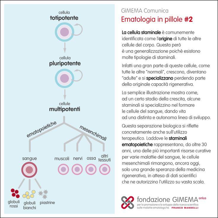 Ematologia in pillole #2: Cellule staminali  Fondazione GIMEMA Onlus