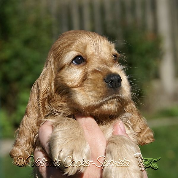 Red Golden Cocker Spaniel Puppy Volcatia Cockerspaniel Puppy Golden Volcatia Germany Cute Hunde Hunde Welpen Englischer Cocker Spaniel