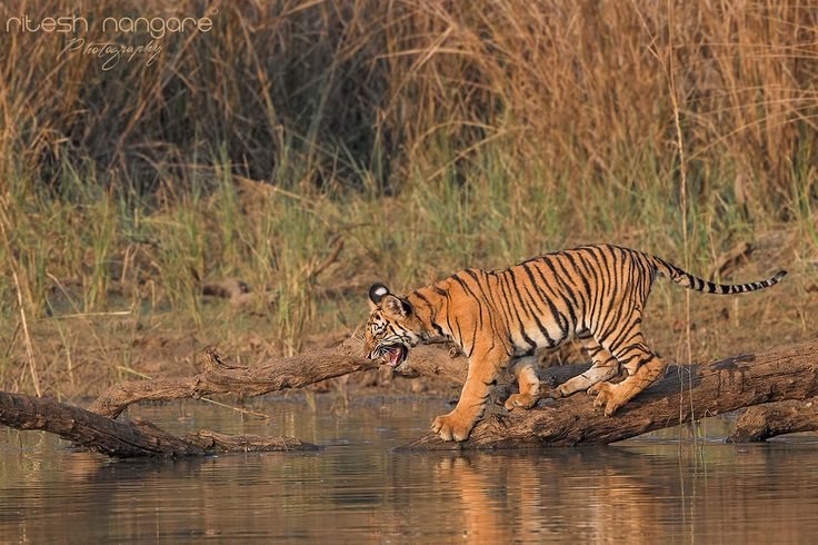 Playful …..….. - Currant Pandharponi Cubs, Pandharponi Area, Tadoba, Nagpur, India. Feb 2016.  These Cubs are incredible, they are playful, joy and very Bold. This particular cub is female Cub who is small by the size among all the siblings and one of the most naughty one in pandharponi family. She always started the fight with the siblings and her mother. She is also an explorer who tries different things. In this image the female cub tries to go pass on that broken log but she stuck in…