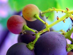 Grapeseed extract is derived from seeds found in whole grapes and is believed to contain a high concentration of flavonoids, oligomeric proanthocyanidins (OPCs), Vitamin E and linoleic acid. It is used in a variety of ways, including the treatment of high blood pressure, heart disease, high cholesterol and edema. Grapeseed extract is also an ingredient in several popular antioxidants.