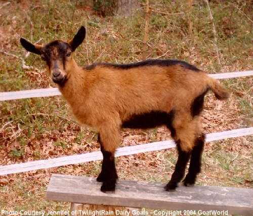 17 Best images about Goats and Goat Stuff on Pinterest | Baby ...
