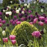 Harmonie de tulipes Clair Obscur