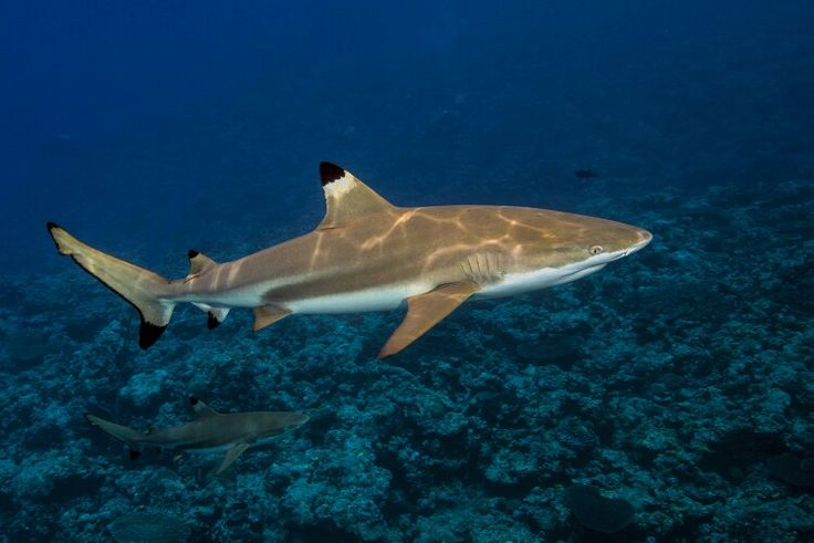Pin on jaws   Shark coloring pages, Reef shark, Black tip ...
