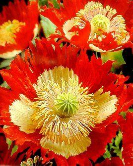 Danish Flag Afghan Poppy