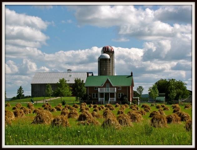 Stooks of Grain on an Old Order Mennonite farm, Ontario, Canada