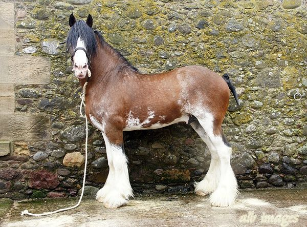 outstanding Clydesdale stallion