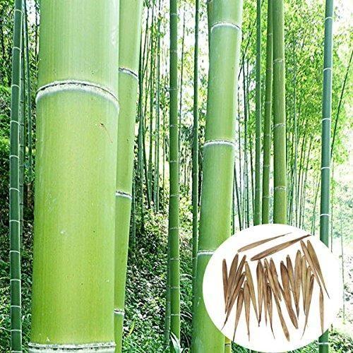 Oferta: 3.99€ Dto: -33%. Comprar Ofertas de Bluelover Árbol siempreverde de 100pcs jardín bambú Moso semillas plantas de patio Phyllostachys Pubescens barato. ¡Mira las ofertas!