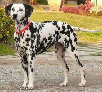 I've wanted a dalmatian since I was a little girl.