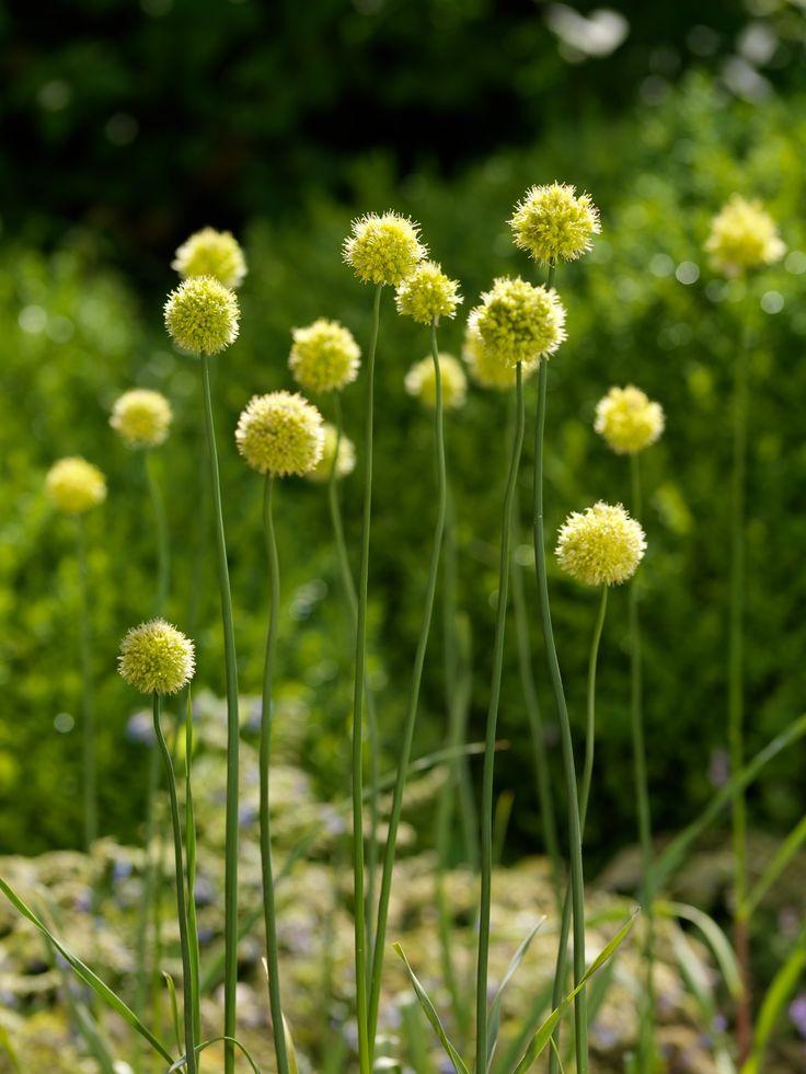 Allium obliquum een studio royale steven bemelman foto voor j m van berkel plants - Ontwikkel een studio van m ...