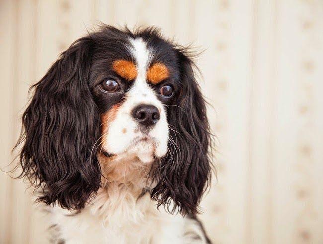#Cukrzyca u psa