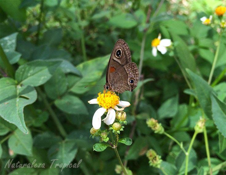 Mariposa polinizando una flor de romerillo (Bidens alba)
