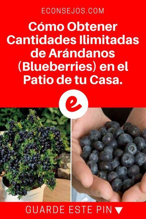 Arandanos cultivo | Cómo Obtener Cantidades Ilimitadas de Arándanos (Blueberries) en el Patio de tu Casa. | Cómo Obtener Cantidades Ilimitadas de Arándanos (Blueberries) en el Patio de tu Casa.