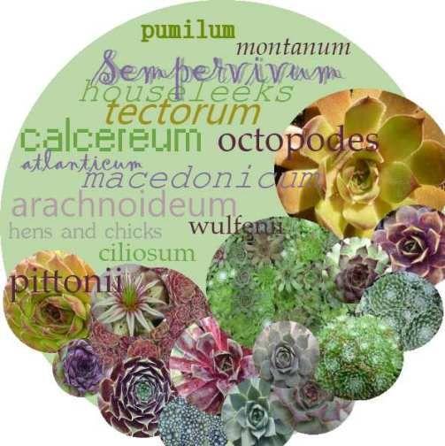 Sempervivum species