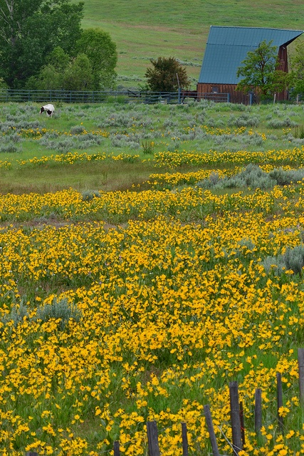 Horse Ranch, Yellow Flowers