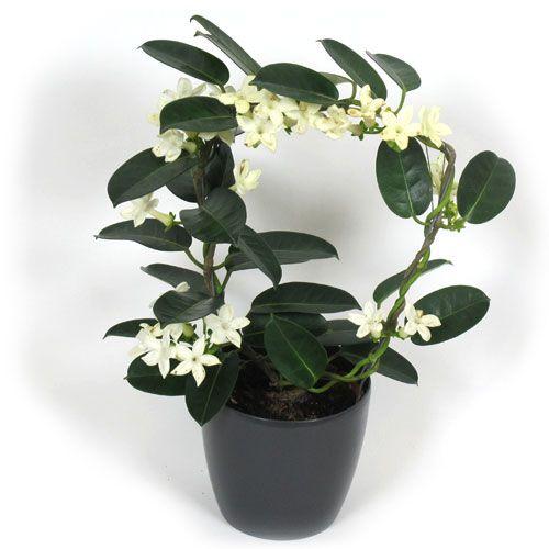 Plantas de interior vs Plantas de exterior: Jasmim-de-Madagáscar: a flor que cheira bem