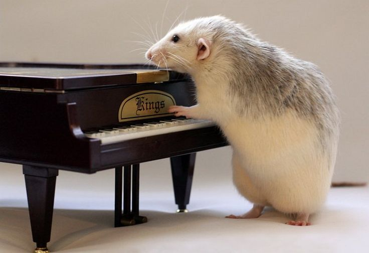 You've heard of the Piano Man.....why not the Piano Rat ?