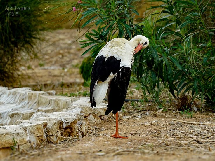 https://flic.kr/p/wUxVRh | stork ( Ciconia ciconia ) | this picture was taken with the Sony A7s and Fe 70-200mm f4