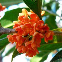 20 единиц / мешок семян Оранжевый османтуса, семена цветов для DIY домашнего сада бесплатной доставкой