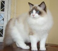 RAGDOLL  Marriages allowed with other breeds: none.  About RAGDOLL  Around 1960, in Riverside, east of Los Angeles, at the home of Mrs. Pennels, was born the white cat Joséphine, of Turkish Angora type. Crossed with a Burmese glove