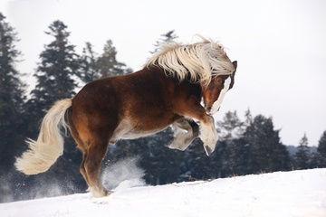 The Black Forest Horse