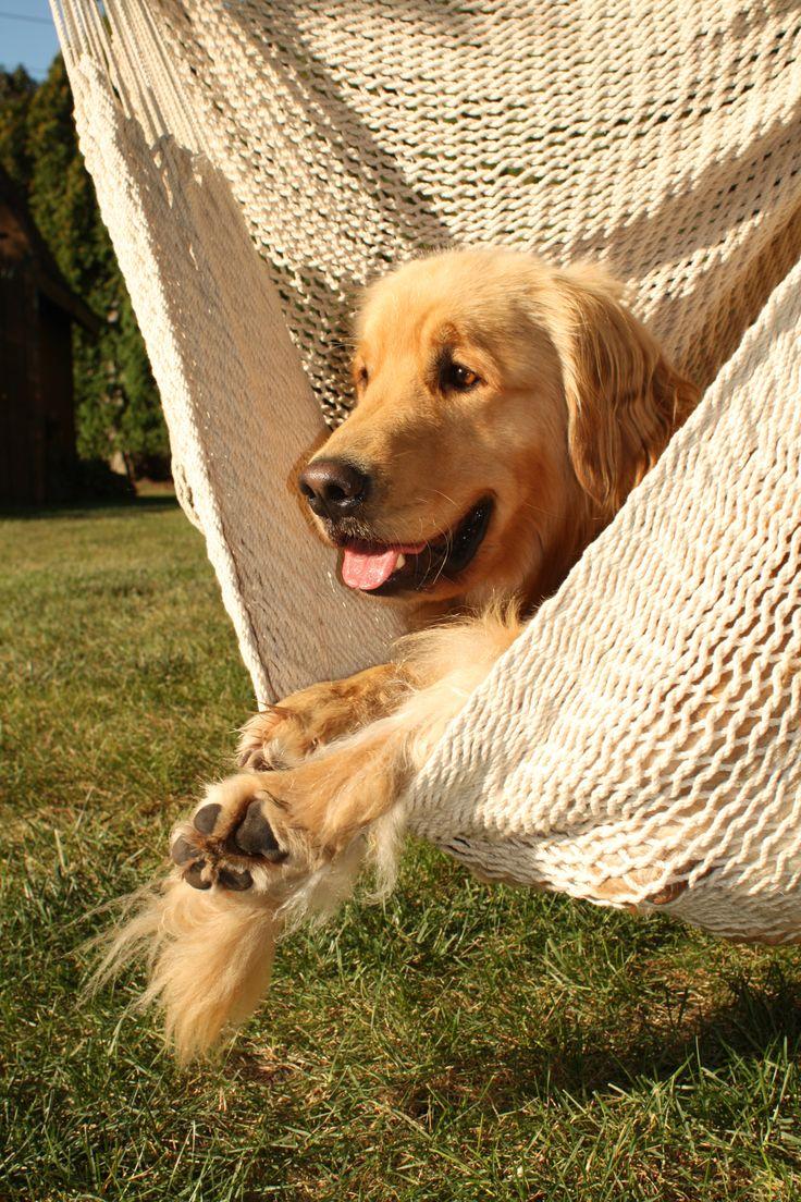 Golden Retriever #Dogs #Puppy #Pollito