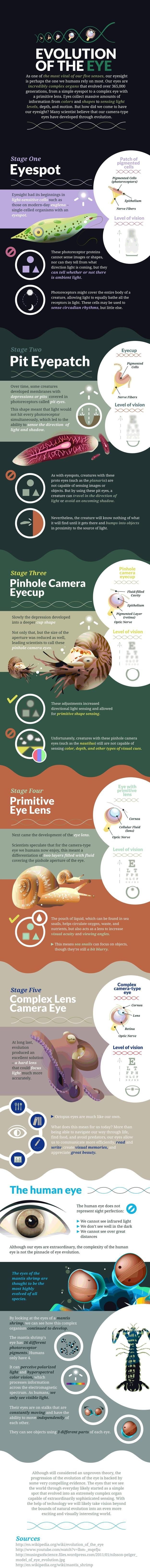 Who knew...the mantis shrimp visual system is more evolved than the human eye!  info-eye-evolution-infographic