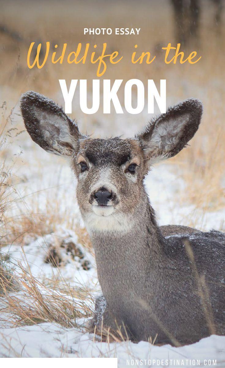 Photo Essay: Meet the animals from the Yukon Wildlife Preserve - Canada - Non Stop Destination