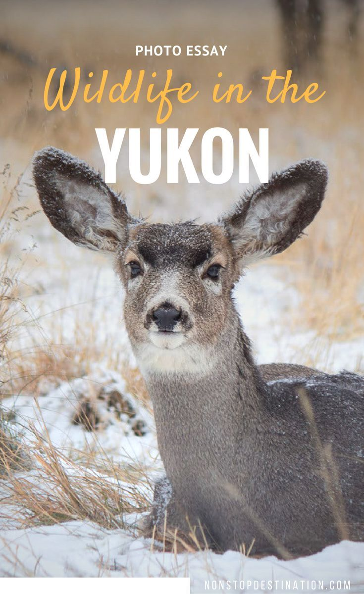 best images about travel tips ontario meet the animals from the yukon wildlife preserve