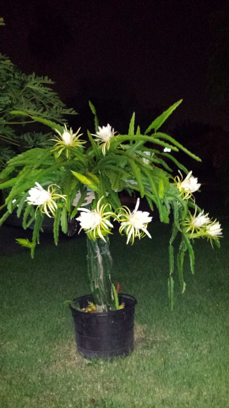 My Dragon Fruit Trellis in bloom...taken at night because the flowers ...: https://www.pinterest.com/pin/311381761707480982