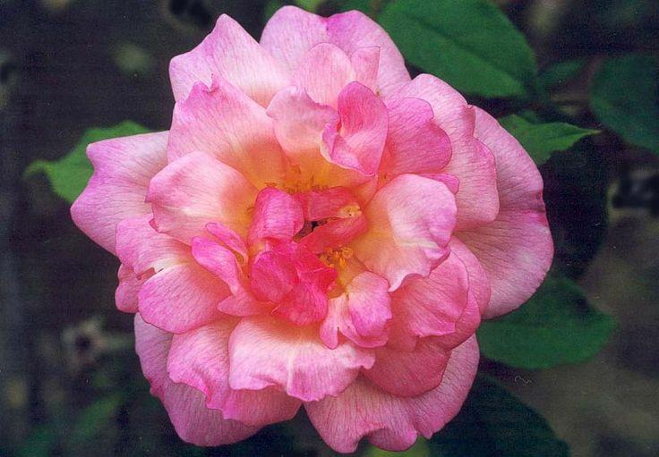 24 best images about roses th et hybrides de th on. Black Bedroom Furniture Sets. Home Design Ideas