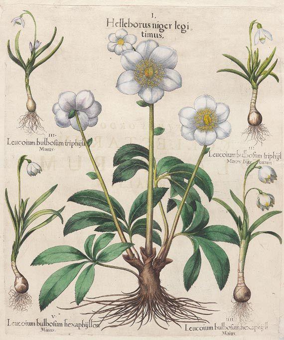 Helleborus niger legitimus, Christrose, Schwarze Nieswurz, Hortus aeyenstettensis, 1613