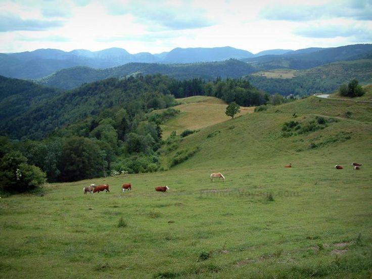 La route des Crêtes: Route des Crêtes: Pâturage d'altitude (hautes chaumes) avec des vaches, forêts et collines en arrière-plan (Parc Naturel Régional des Ballons des Vosges) - France-Voyage.com