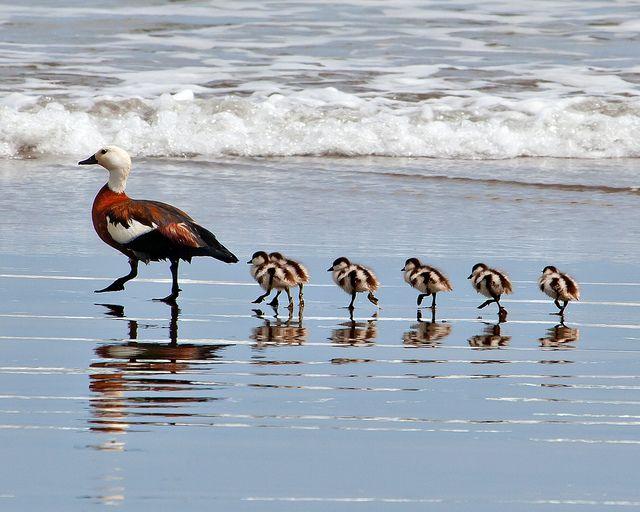 Paradise Shelduck (Tadorna variegata) mom takes her wee ducklings into the shallows of Opunake Beach, Taranaki, NZ, by Dave Young